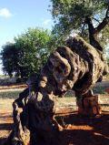 2000 year old olive tree - Masseria Brancati