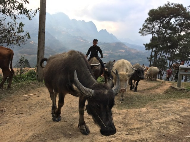 A young boy rides a water buffalo on the hills of Northern Vietnam