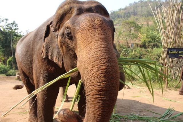 Elephant-eating-bamboo-ethical-elephant-sanctuary-Chiang-Mai-Two-Souls-One-Path