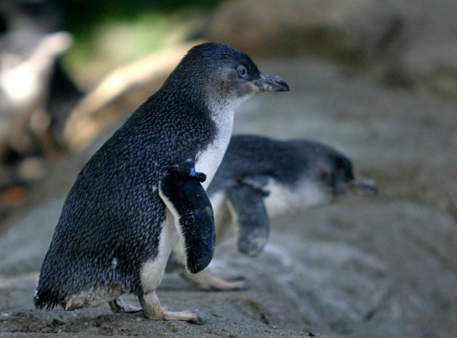 Little-Penguin-Best-free-things-to-do-in-Melbourne-Two-Souls-One-Path