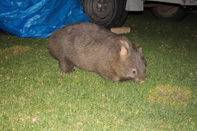 Wombat at Bendeela Reserve Campsite