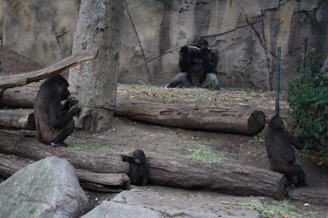 Gorillas at Taronga Zoo