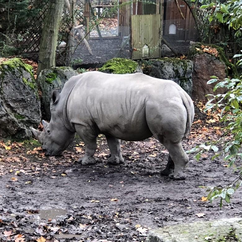 Rhinoceros Lille Zoo, animal Lille