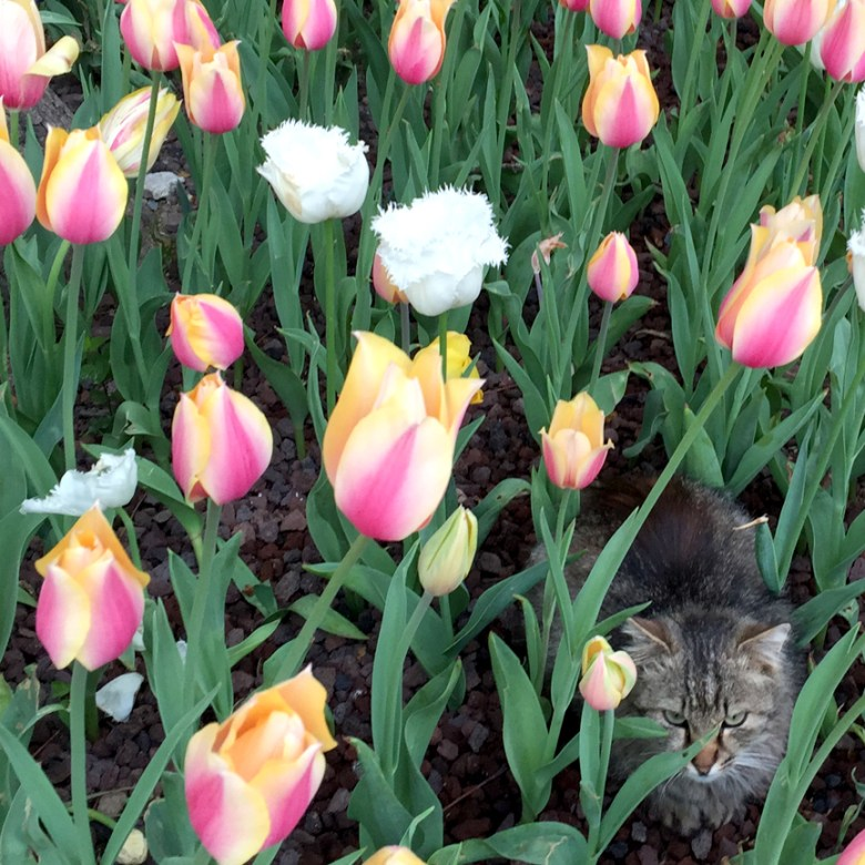 #Istanbul #cat #tulips
