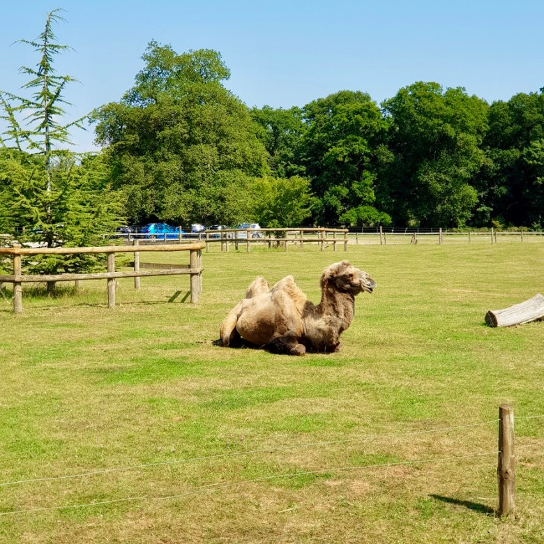 Cotswold Wildlife Park and Gardens Day Out Animals Farm Family Kids Dog Friendly Picnic Camel Resting