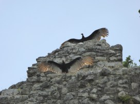 Vultures at Coba sunning themselves