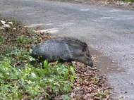A collared peccary crossing the road on the way to Calakmul