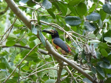 Collared aracari at Calakmul
