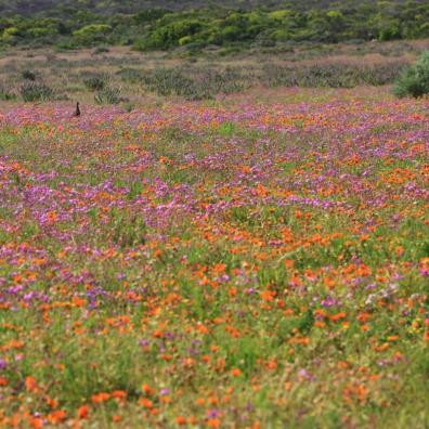 West Coast National Park. flowers, spring, South Africa, September, August