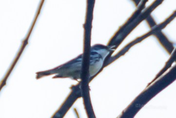 """Cerulean Warbler - chased this guy at Salt Fork State Park for almost an hour, to get a """"clear"""" shot."""