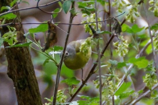 Nashville Warbler