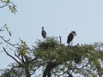 Lesser Adjutant Storks