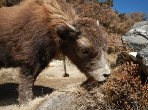 A yak calf on the way from Namche