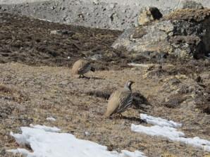 Tibetan Snowcocks