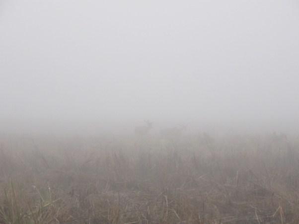 Spotted deer bucks