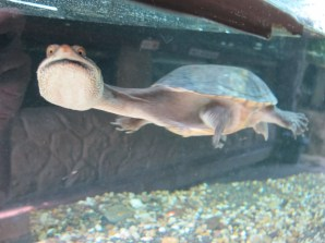 Long-necked turtle