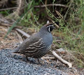 A male California quail