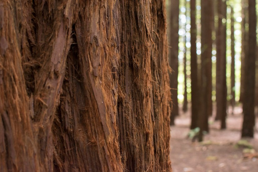 the bark of a Redwood