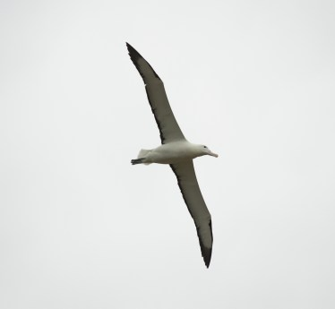 An Albatross flying. Beautiful and Amazing
