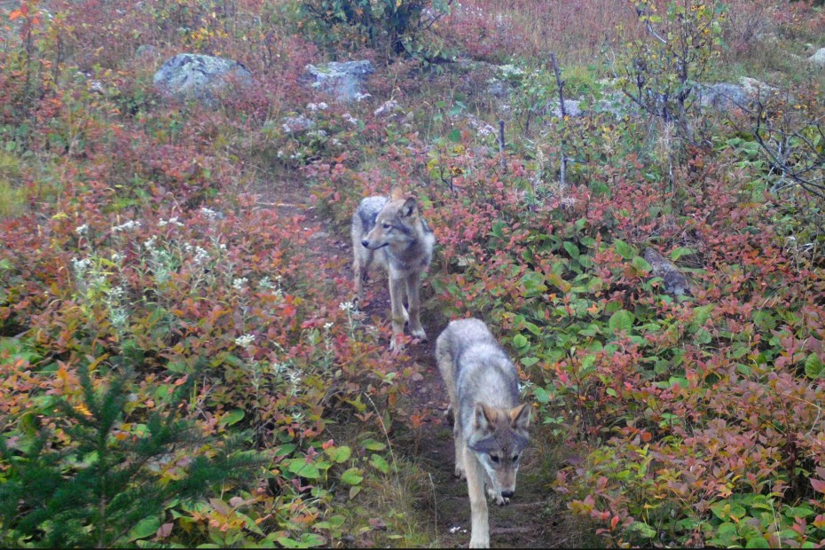 Wolf Pups on Isle Royale