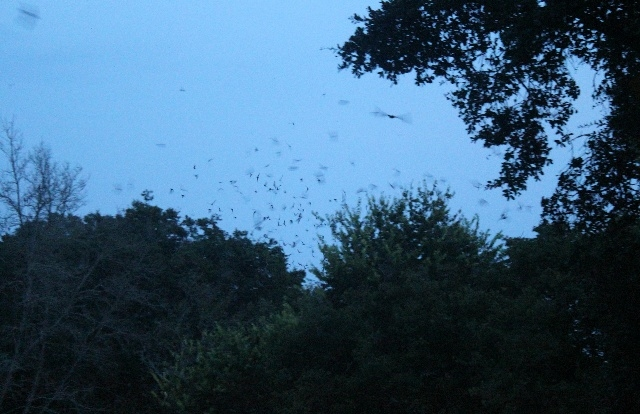 Bats emergence at Old Tunnel SP, Fredericksburg, TX.