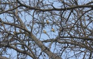 Beautiful yellow birds.