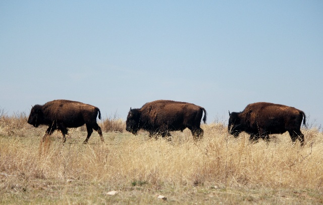 Camping & Hiking Around Texas Panhandle: Caprock Canyons SP: bison crossing: Two Worlds Treasures