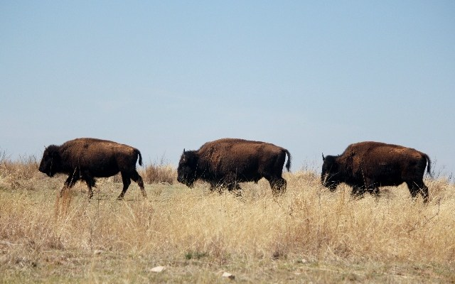 Bison crossing at Caprock Canyon State Park, Texas.