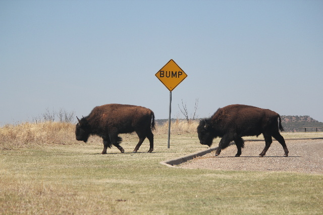 Bison were moving to other location at Caprock Canyons SP, TX.