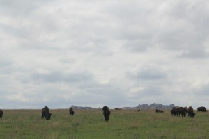 Wichita Mountains Wildlife Refuge: bison grazing on grass.