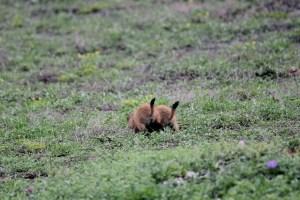 Wichita Mountains Wildlife Refuge: juveniles at Prairie Dog Town.
