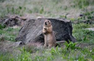 Wichita Mountains Wildlife Refuge: alert at Prairie Dog Town.