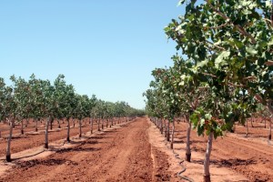Pistachio trees at McGinn's Pistachio Tree Ranch in Alamogordo, New Mexico.