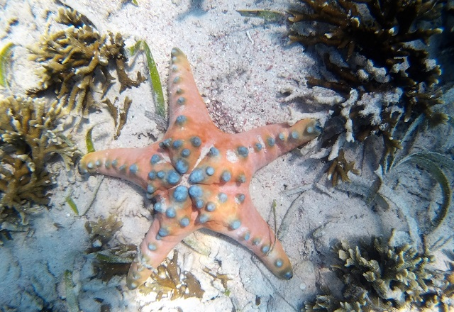 Island Hopping in Flores, Indonesia - Day 3 - orange starfish at Siaba Island