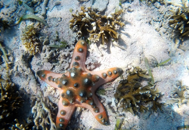 Island Hopping in Flores, Indonesia - Day 3 - Pink starfish at Siaba Island