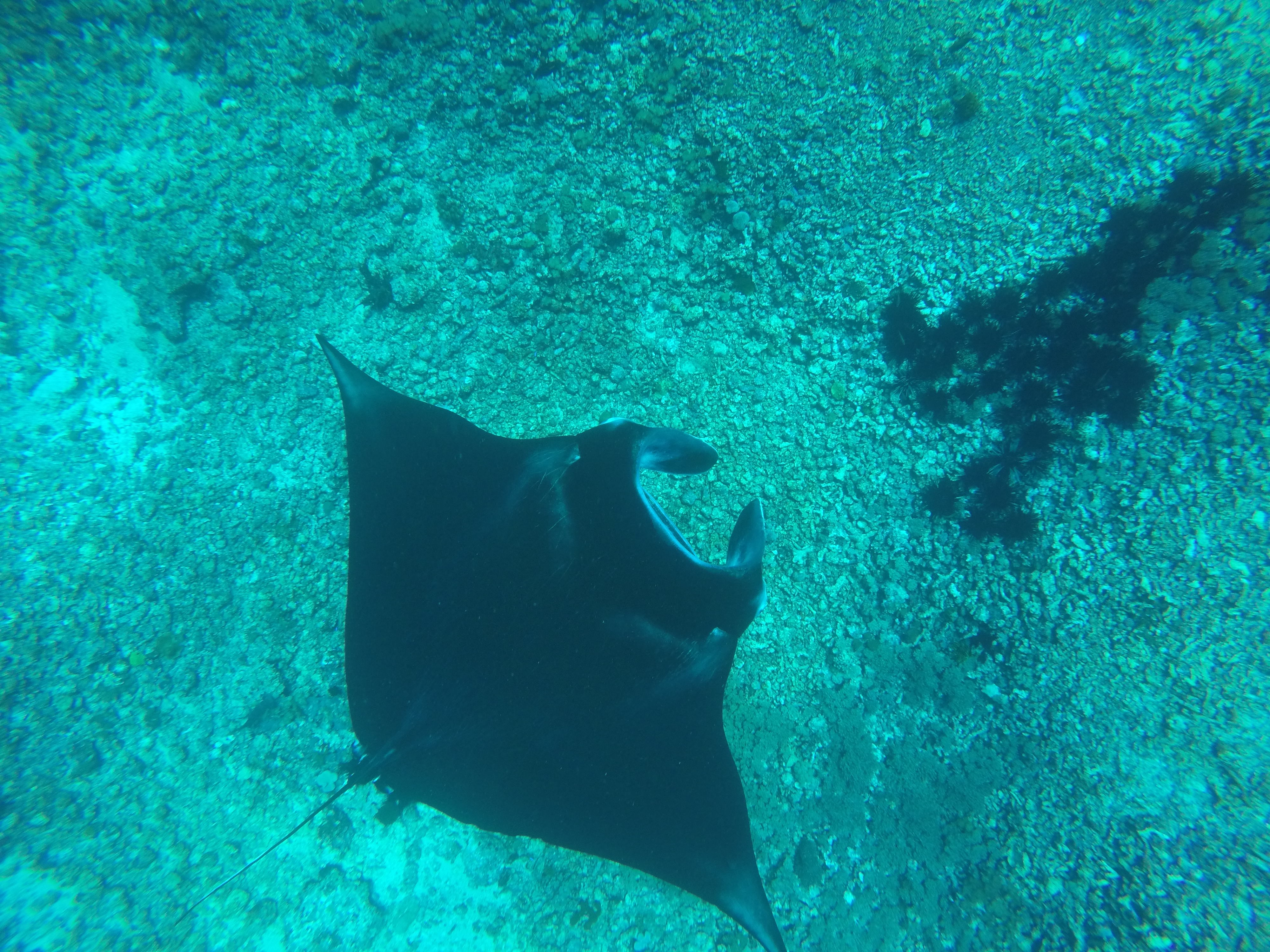 Two Worlds Treasures - another manta ray at Manta Point, Flores, Indonesia.