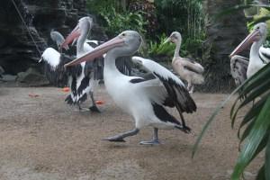 Visiting Bali with a 10-year-old boy: Bali Bird Park: Australian pelican