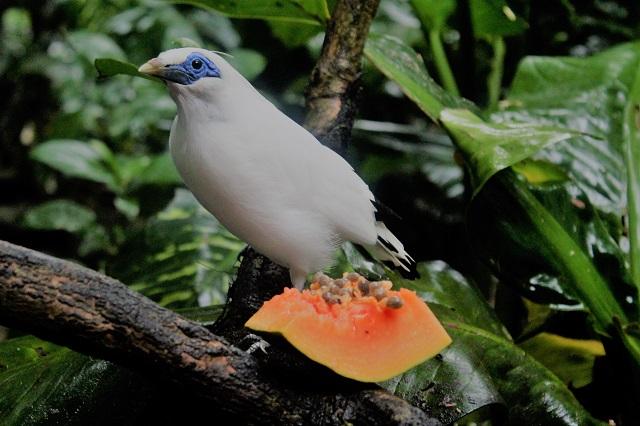 Visiting Bali with a 10-year-old boy: Bali Bird Park: Bali starling