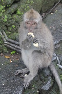 Visiting Bali with a 10-year-old boy: Ubud Monkey Forest: banana...