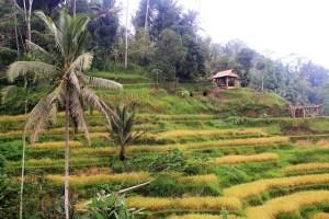 Visiting Bali with a 10-year-oldboy: Tegalalang, Ubud: yellow terrace