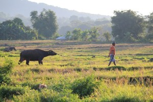 Two Worlds Treasures - a shepherd with his cow, Dinto Village, East Nusa Tenggara, Indonesia.