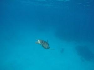Island Hopping in Flores, Indonesia - Day 3 - goodbye sea turtle - Siaba Island