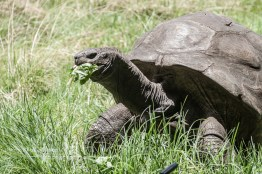 Seychelles giant tortoises can weigh up to 300kg (660 lbs) and grow to be 1.3m (4 ft) long