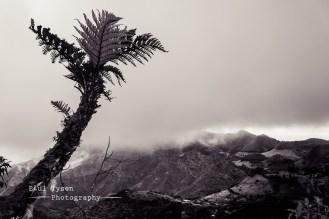 Tree Ferns St Helena B&W