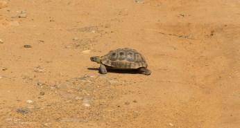 Slow Tortoise in road!