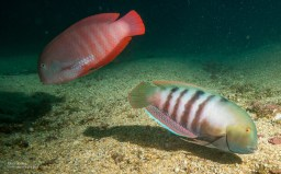 Marmalade Razor Fish