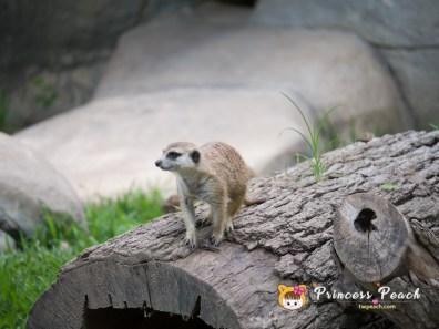 Fort Worth Zoo Meerkat 貓鼬