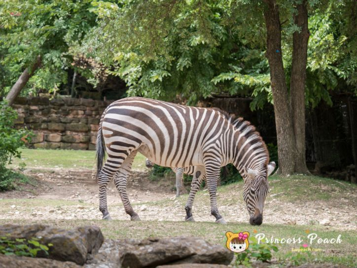 Fort Worth Zoo Zebras 斑馬