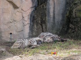 Fort Worth Zoo White Tigers 白老虎