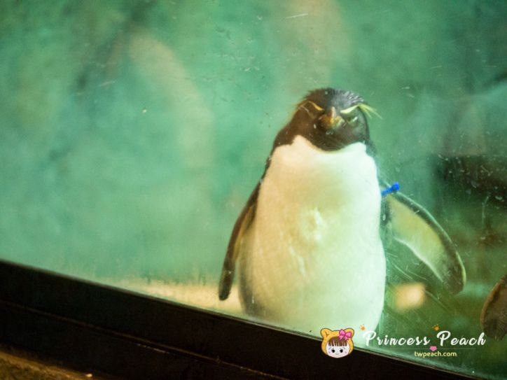 Fort Worth Zoo Rockhopper penguin